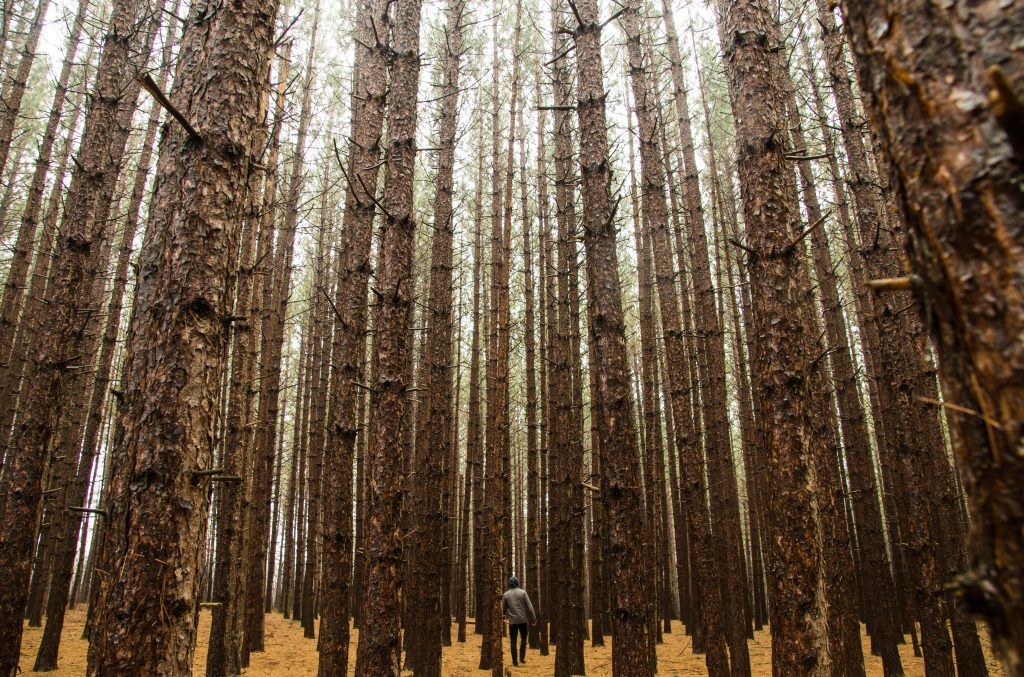 throughthepines_woods_duluth_nature_Taylor_Somerville