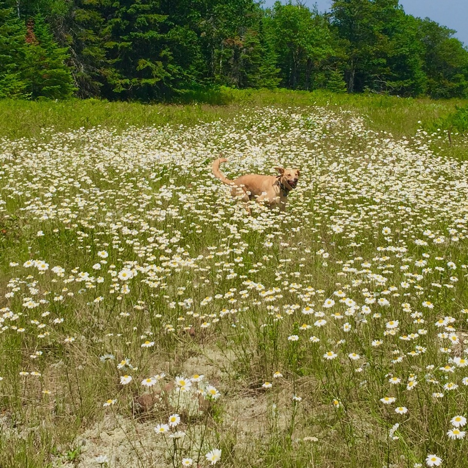 dog_field_summer_mn_duluth_wildflowers_photography_kristen_swanson