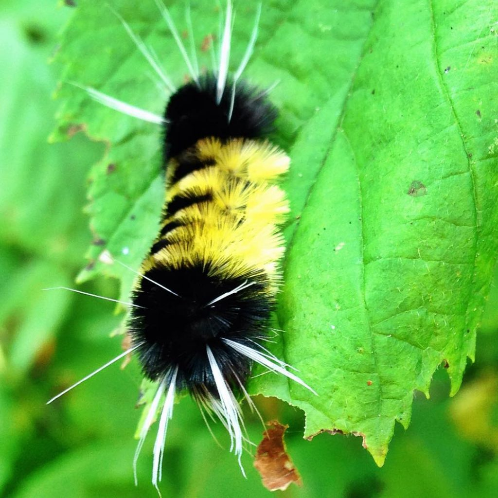Carlton-Peak-caterpillar-minnesota-nature-jon-schelander